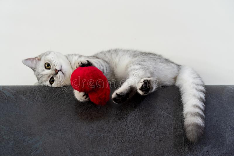 A cute little cat, short hair silver tabby scottish fold, lying on black sofa looking at a camera and playing a little red heart. Pillow on background stock photo