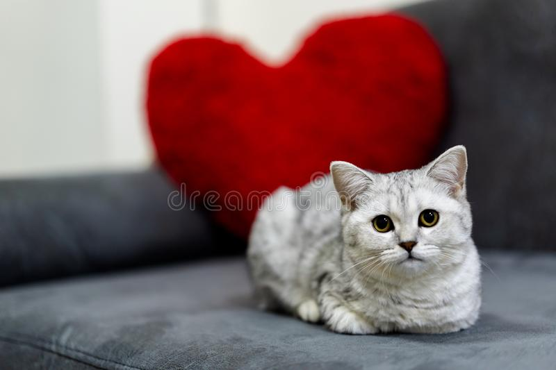A cute little cat, short hair silver tabby scottish fold, lying on black sofa looking at a camera with a red heart pillow. On background. Valentines Day Concept royalty free stock photography