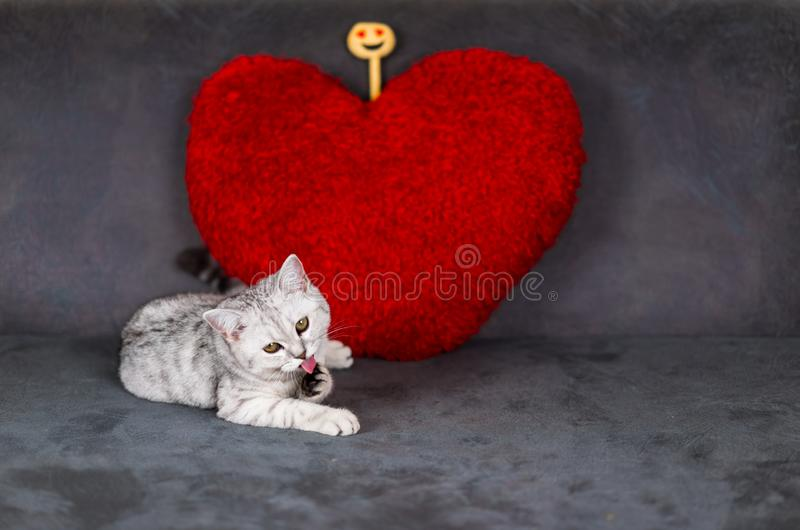 A cute little cat, short hair silver tabby scottish fold, lying on black sofa looking at a camera, tongue out and licking paws. A cute little cat, short hair stock photos