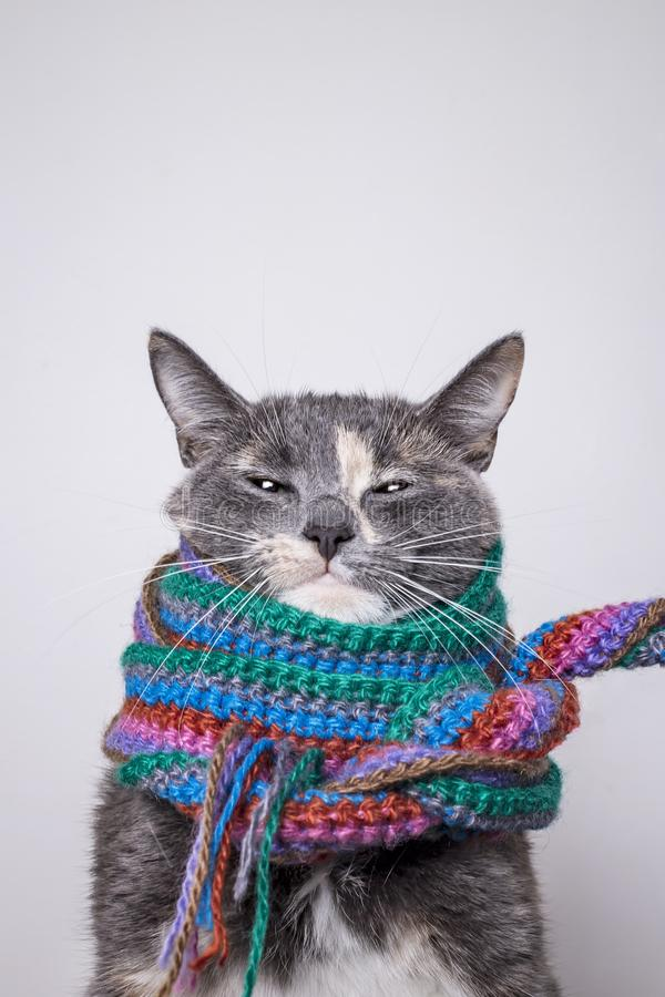 Cute little cat with a sly look prepared for winter and wrapped in a woolen, knitted scarf, on a gray background royalty free stock images