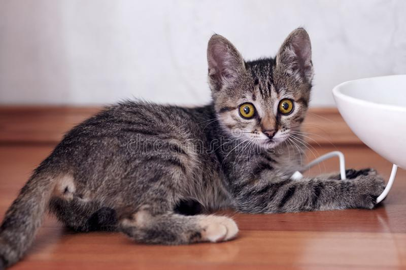 Cute little cat of tabby color plays with white wire of electronic gadget. royalty free stock image