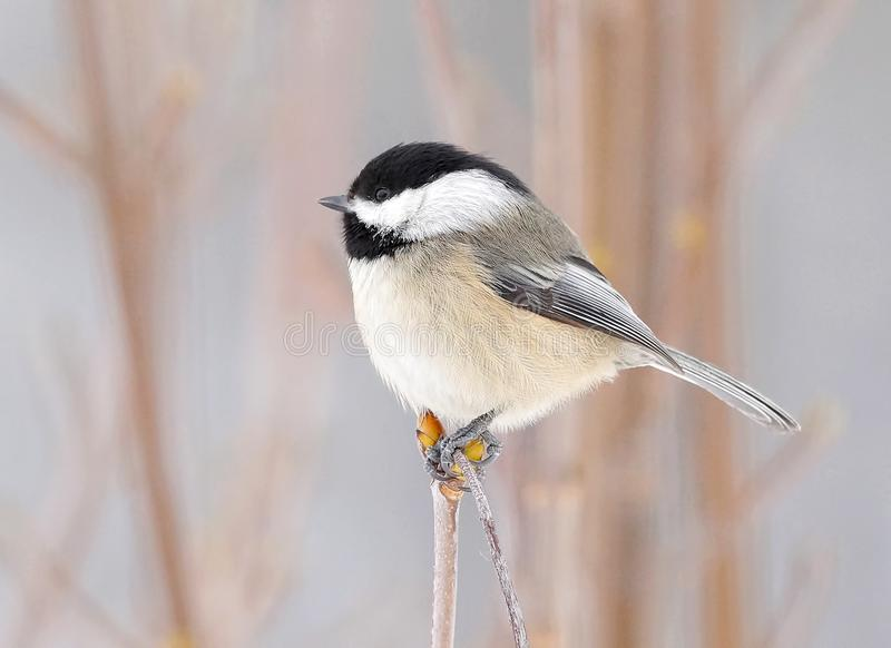 Cute Little Chickadee Perched On A Branch In Winter royalty free stock images