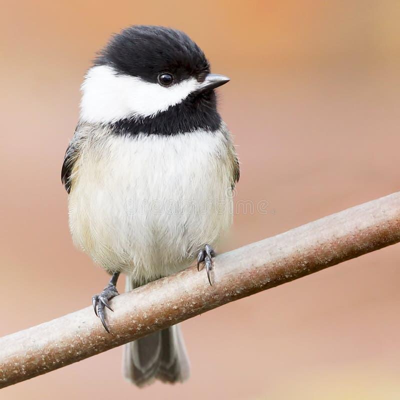 Adorable black-capped chickadee small bird royalty free stock photo