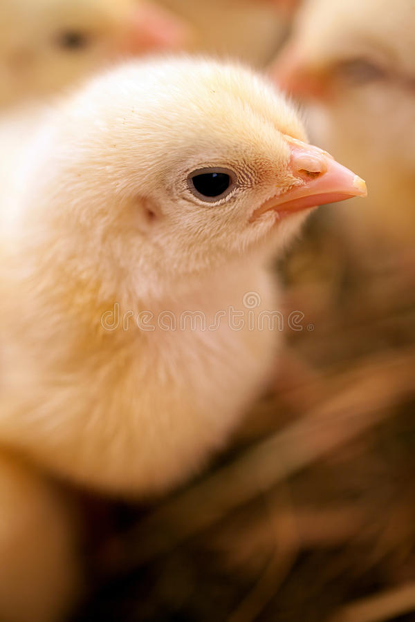 Cute little chicken royalty free stock photos