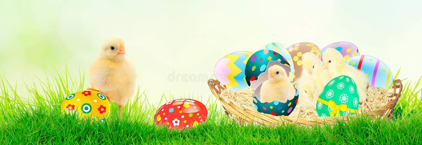 Cute little chicken coming out of the Easter egg in the grass on te spring background royalty free stock photos