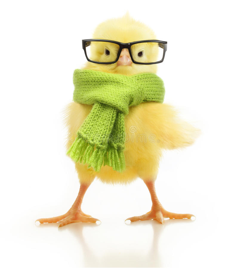 Cute little chicken isolated royalty free stock images