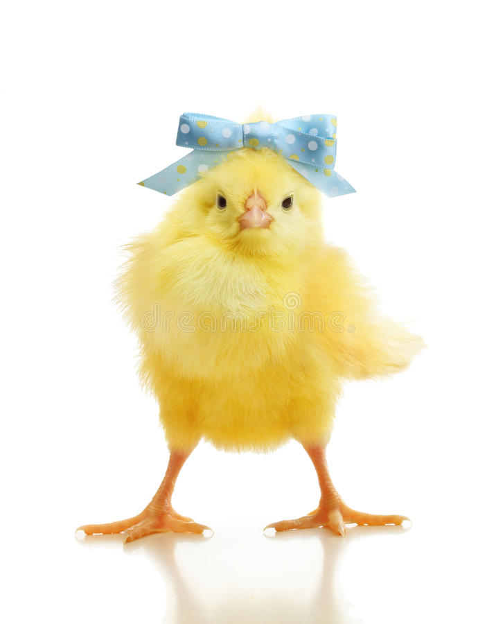 Cute little chicken isolated royalty free stock photo