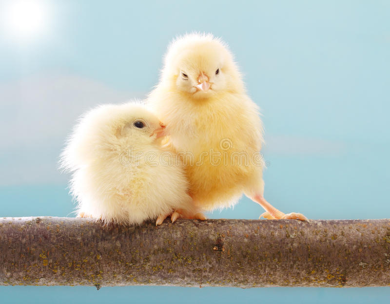 Cute little chicken stock photography