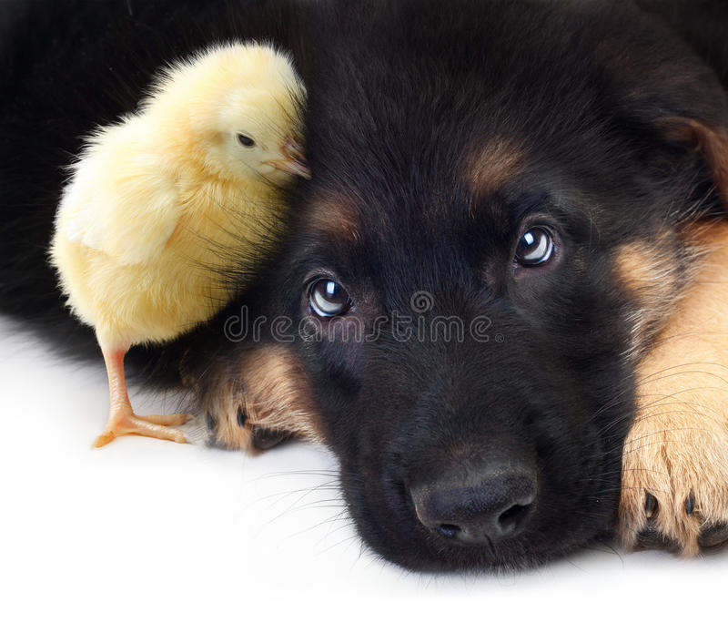 Cute little chicken and puppy german shepherd dog. On a white background royalty free stock image
