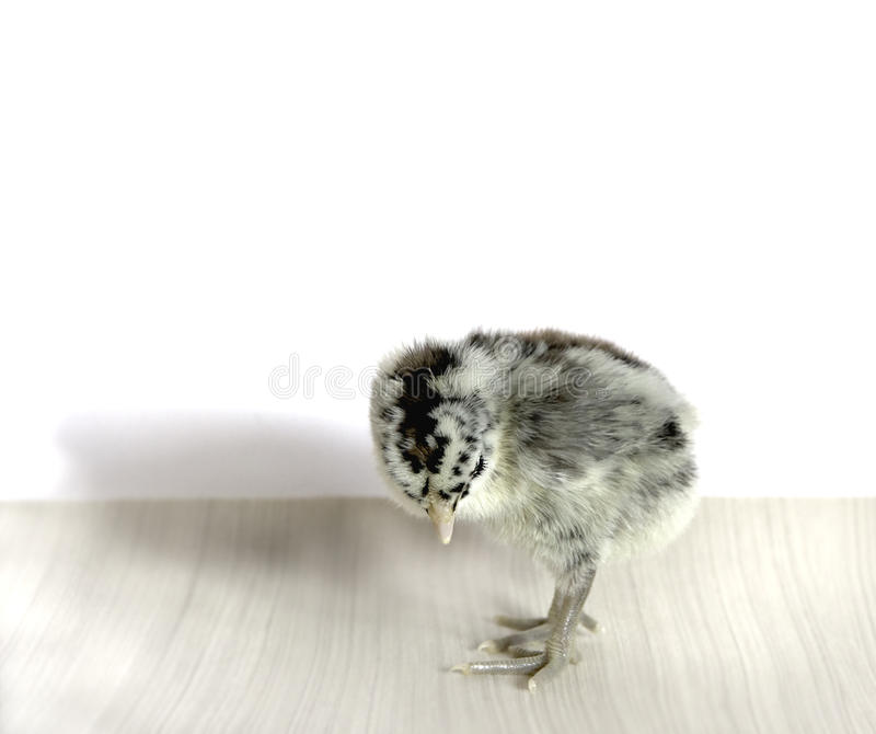 CUte little chickie stock photo