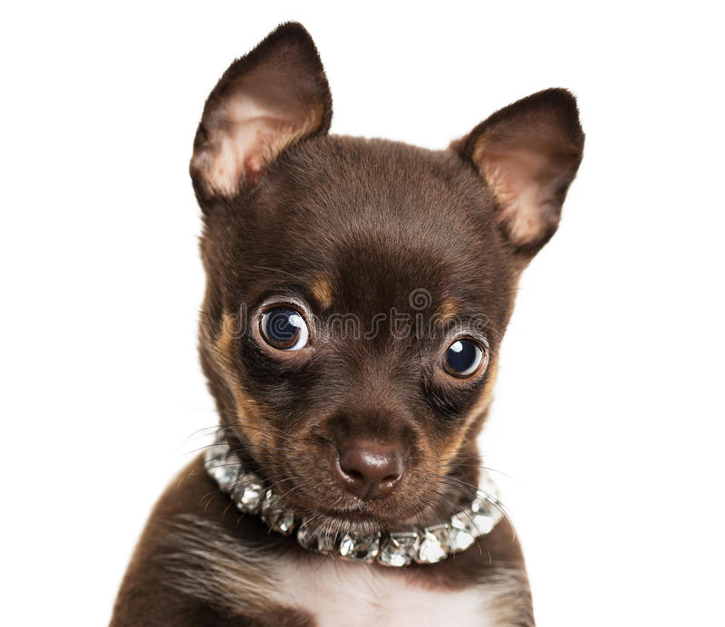 Cute little chihuahua dog. Close up of cute little chihuahua puppy isolated on white background stock images