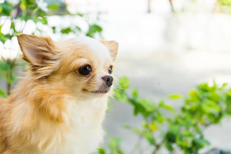 Cute little chihuahua dog sitting in a park royalty free stock photos