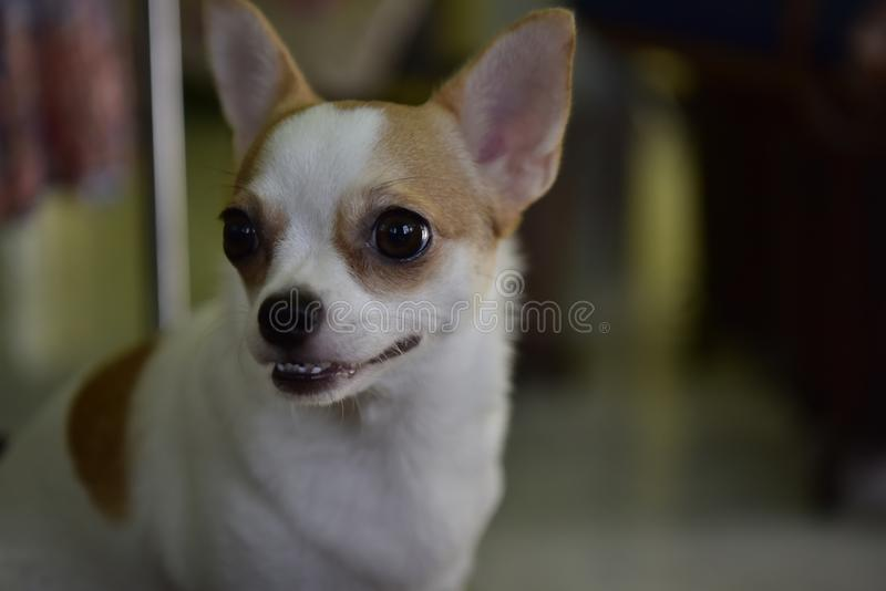 The cute little Chihuahua dog was staring to the right while playing in the room. The  little chihuahua dog was  to the  while  in the .. the  little chihuahua stock photos