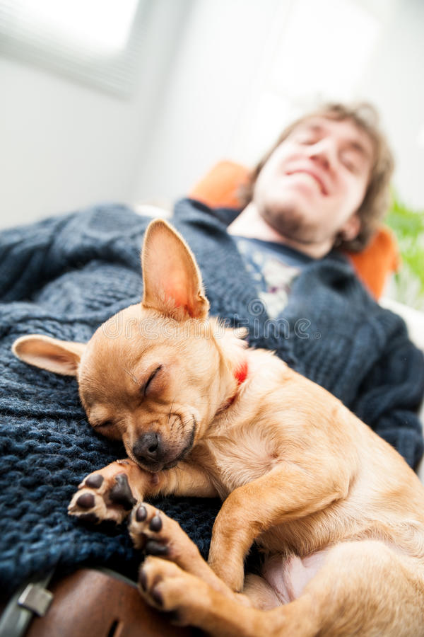 Cute little chihuahua fast asleep stock photography