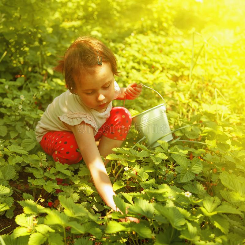 Cute little child girl picking strawberry outdoors. Kids pick fr. Esh fruit on organic strawberry farm. Agriculture, health, bio food concept stock photos