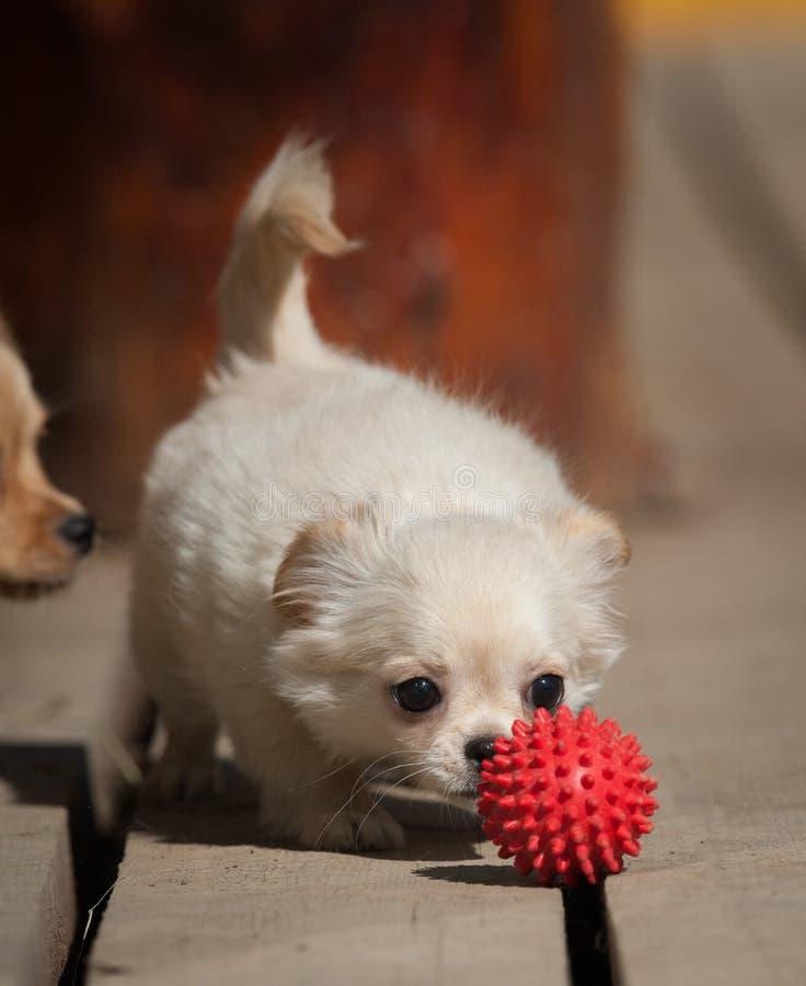 Cute little chiwawa puppy with a ball. Cute little chiwawa puppy with toy ball royalty free stock photo