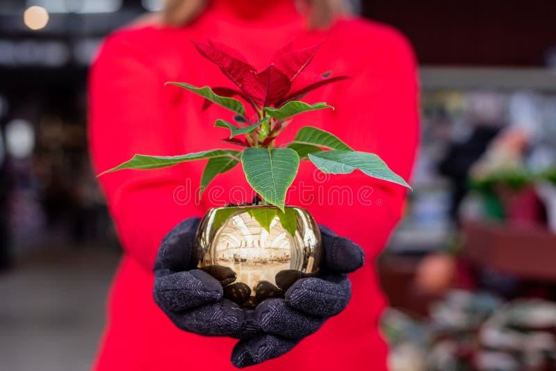 Cute little Christmas Poinsettia plant royalty free stock photo