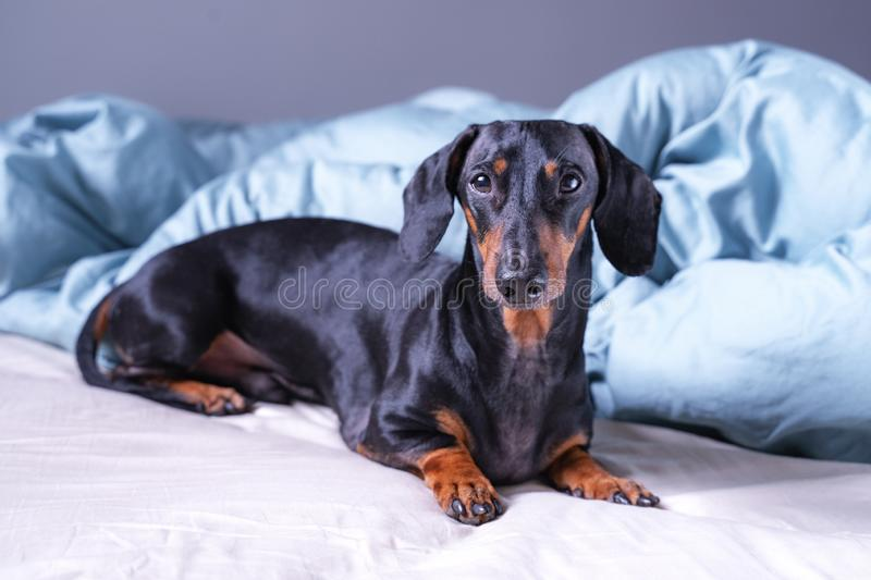 Cute little dachshund dog, black and tan, lying on bed. Pets friendly hotel or home room royalty free stock photo