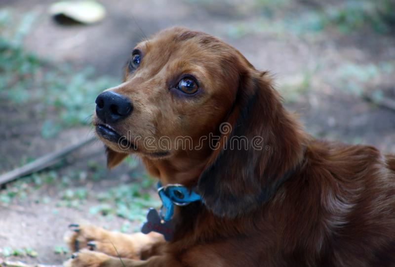 Cute little Dachshund wiener dog beautiful puppy royalty free stock photo