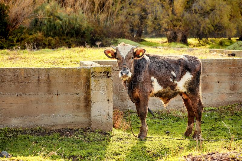 Cute little dark brown and white calf cow at the farm royalty free stock photography