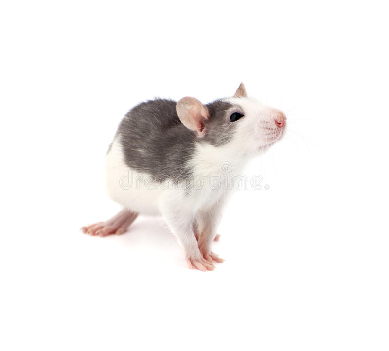 Cute little decorative rat on white background. stock images
