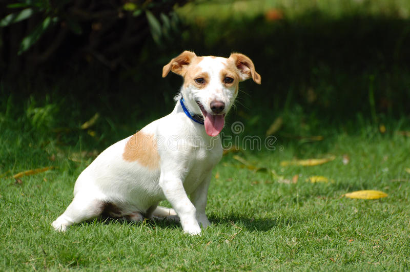 Cute little dog. A cute little crossbred Jack Russell dog sitting on the lawn and staring royalty free stock images