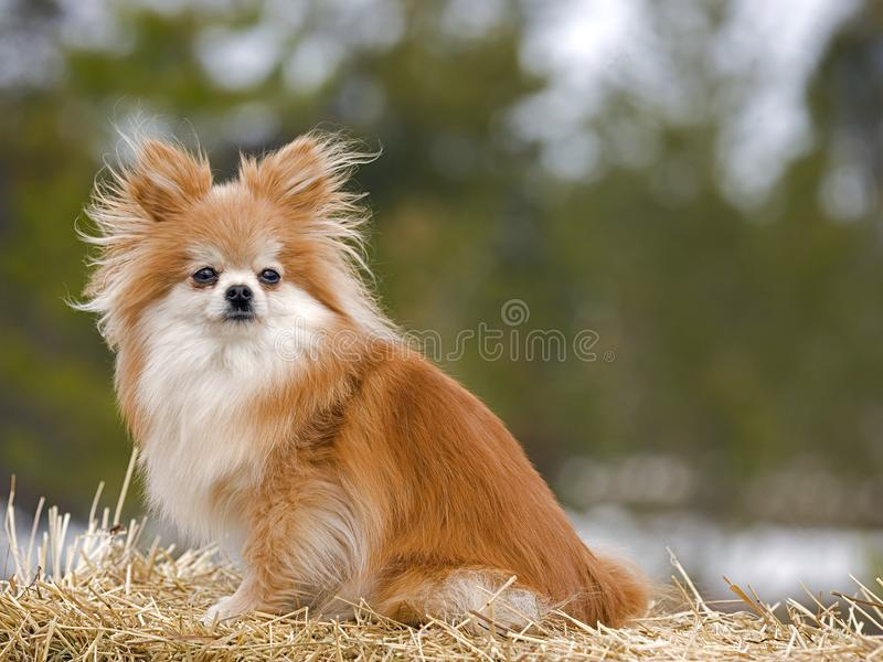Beautiful German Spitz Canine Adorable Dog - cute-little-dog-german-spitz-sitting-hay-bale-nicely-groomed-pomeranian-male-straw-portrait-watching-interested-108135862  Snapshot_418812  .jpg