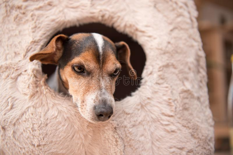 Cute little dog lies comfortably in a cat cave - Jack Russell 10 years old - hair style smooth. Cute little dog lies comfortably in a cat cave .Jack Russell 10 royalty free stock photo