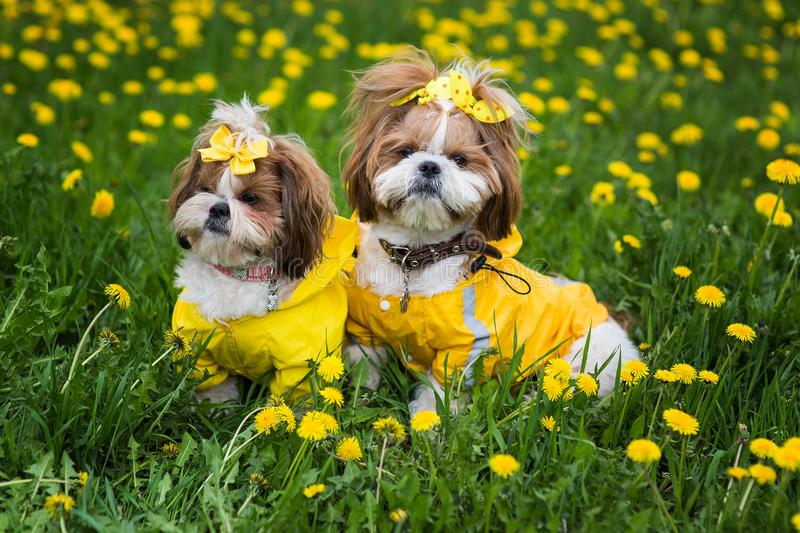 Cute little dog sitting among yellow flowers in yellow overalls with bows in green grass in the park. royalty free stock image