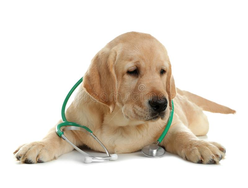 Cute little dog with stethoscope as veterinarian. On white background stock photography