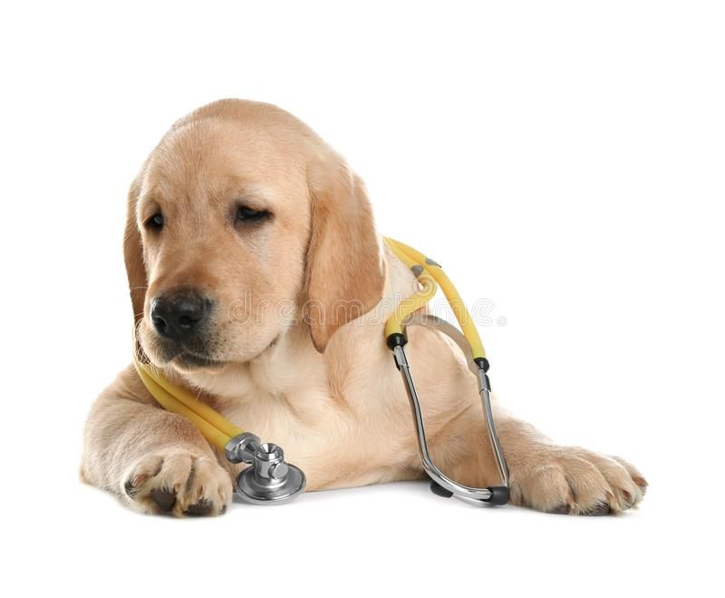 Cute little dog with stethoscope as veterinarian on white. Background royalty free stock photo