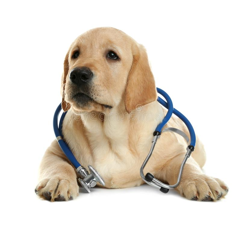 Cute little dog with stethoscope as veterinarian. On white background stock photo