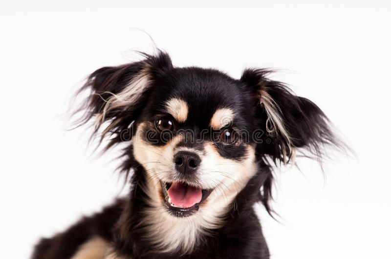 Cute little dog on white background at studio. Cute little six month mixed breed dog on white background at studio royalty free stock image