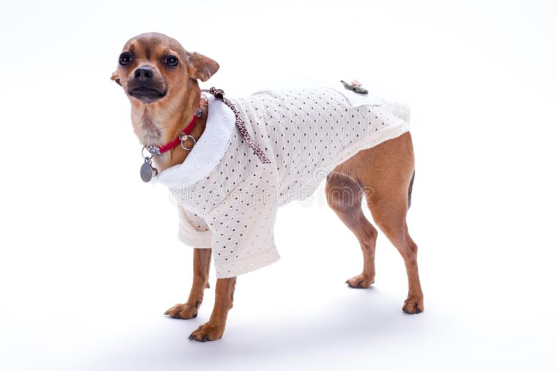 Cute little dog in white blouse. stock image
