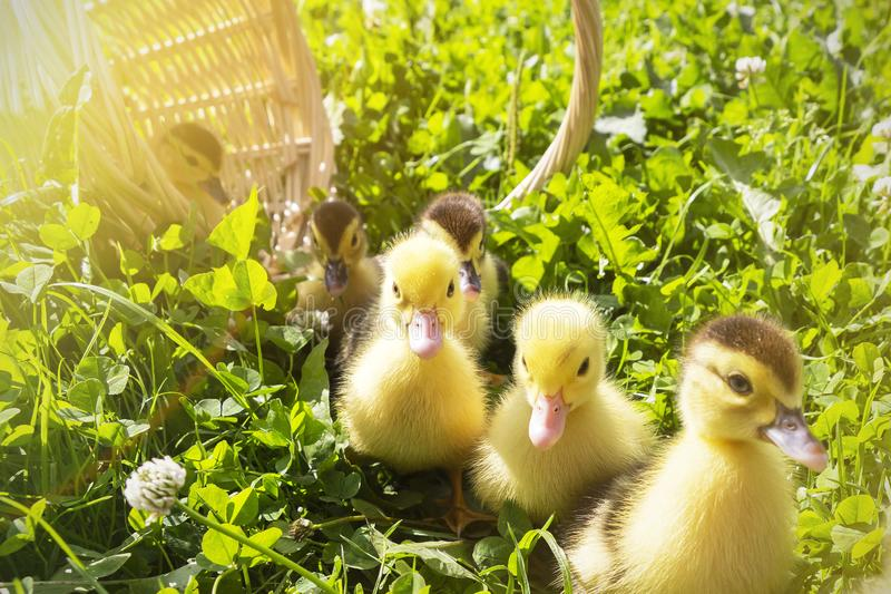Cute little ducklings in a wicker basket on a Sunny day. Cute little ducklings in a wicker basket on a Sunny day royalty free stock photos