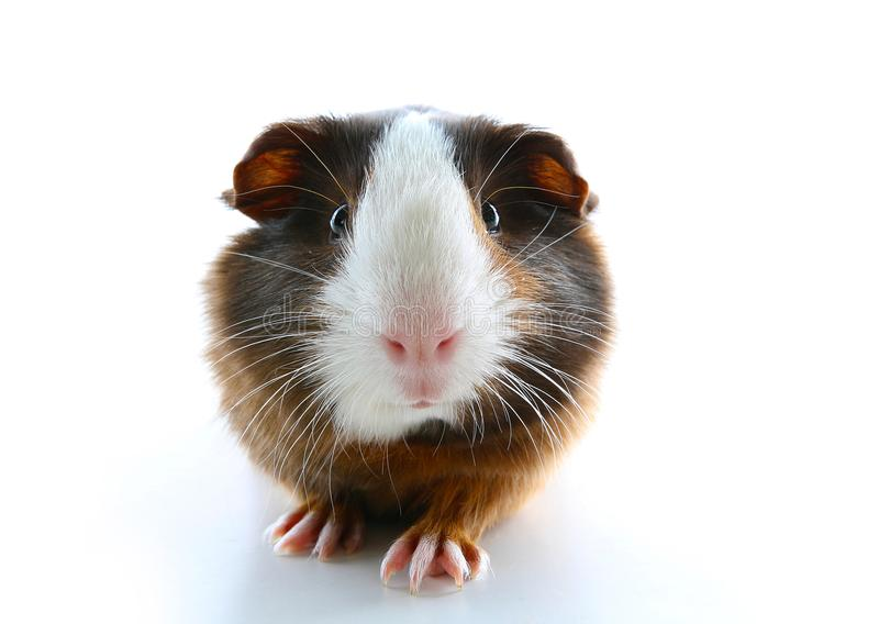 Cute little dutch guinea pig on studio white background. Isolated white pet photo. Sheltie peruvian pigs with symmetric pattern. D royalty free stock photography