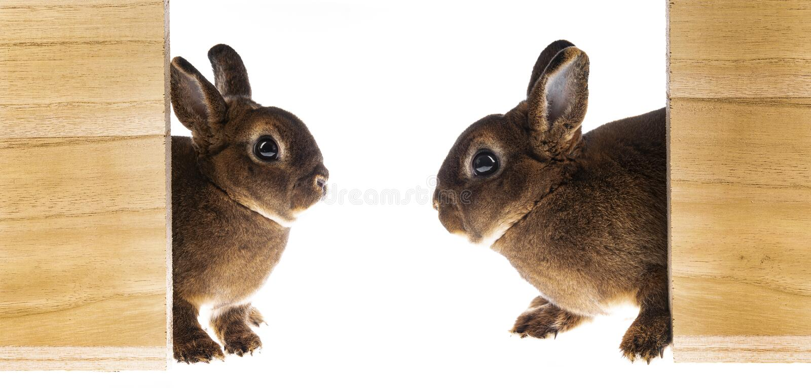 Cute little dwarf rex rabbits in a boxes. Isolated on a white background stock photography