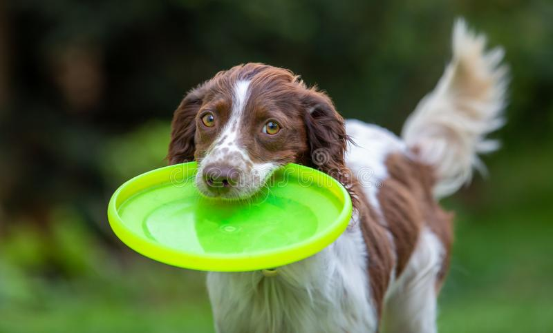 Cute little English Springer Spaniel with wagging tail fetching a yellow flying disc. Action adorable animal beautiful best friends breed brown canine chase cute stock photography