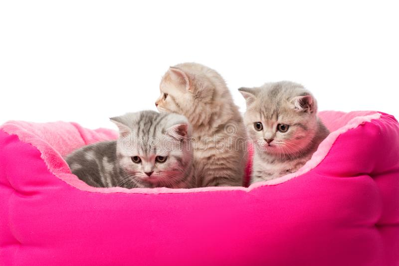 Cute little fluffy kittens sitting in pink cat bed. Isolated on white stock photos