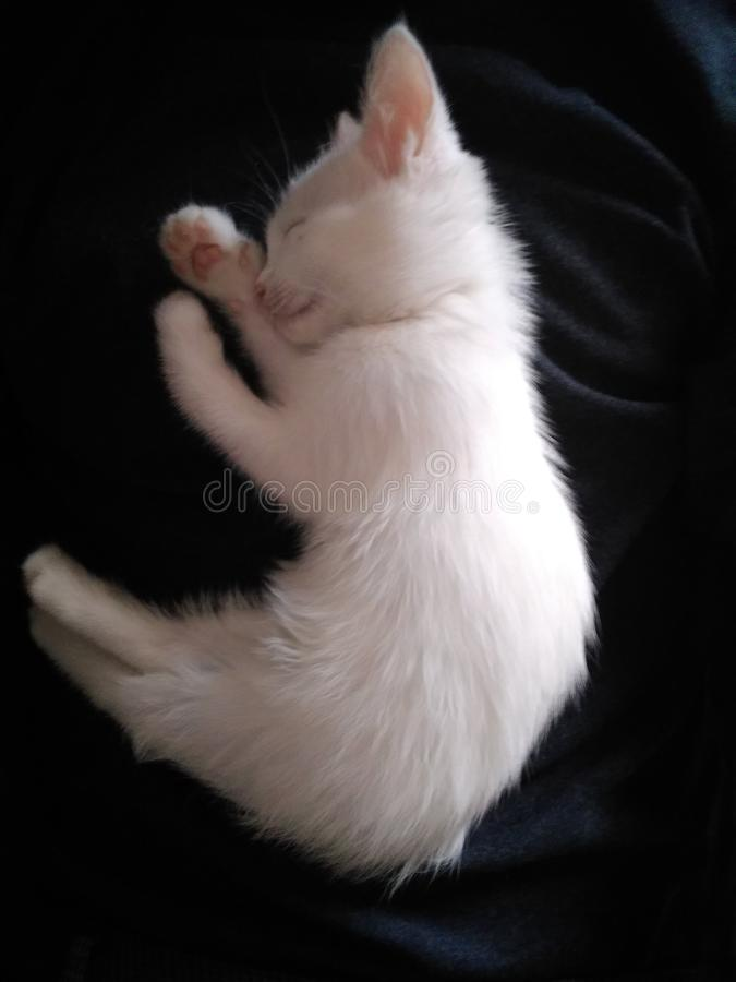 Cute little fluffy white kitten. With beautiful eyes royalty free stock image