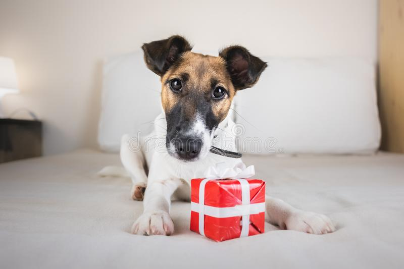 Cute little fox terrier puppy on bed with tiny gift box. royalty free stock image
