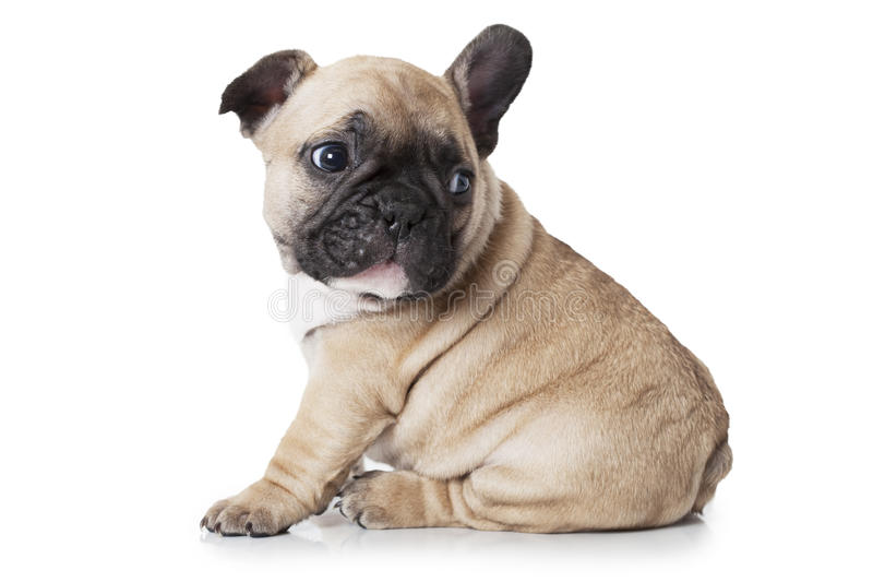 Cute little French bulldog puppy sitting on white background. French bulldog puppy sitting on white background and looks at something stock photo