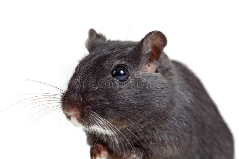 Cute little gerbil royalty free stock photography