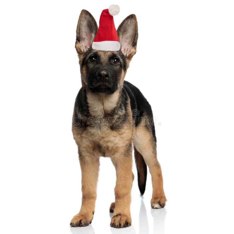 Cute little german shepherd puppy wearing santa hat standing stock photo