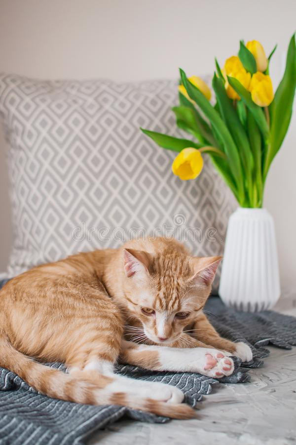 Cute little ginger cat laying in gray blanket at home. Relax time stock photography