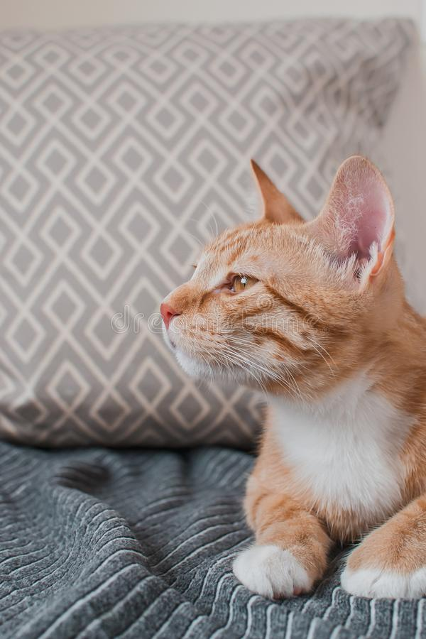 Cute little ginger cat laying in gray blanket at home. Relax time royalty free stock image