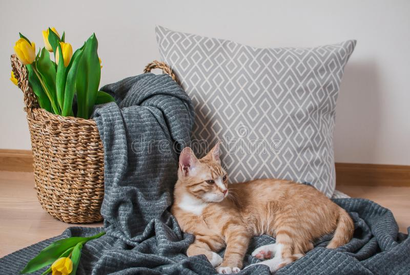 Cute little ginger cat laying in gray blanket at home. Relax time royalty free stock photos