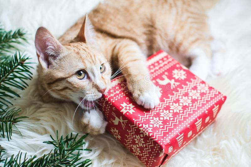 Cute little ginger kitten laying in soft white faux fur blanket, holding red paper gift box Christmas stock photo