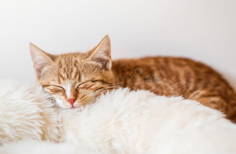 Cute little ginger kitten sleeping in soft white blanket stock photo