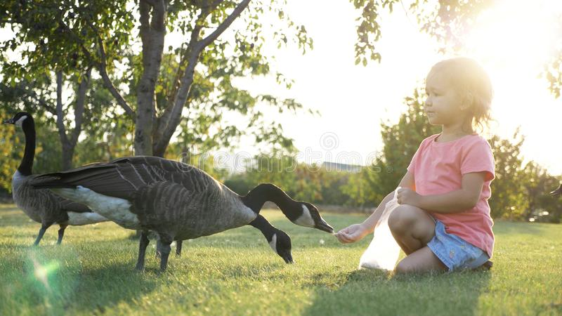 Cute little girl feeding wild geese at green summer meadow stock images